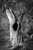 Old dead tree - black and white. Old dead tree with a huge knothole Royalty Free Stock Photo