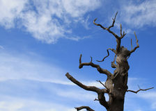 Old Dead tree on Blue Sky. Old Hollow leafless tree on blue sky stock images