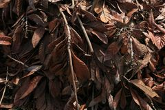 Old Dead Tree Branches with Wilted Brown Leaves. This is a pile of old magnolia tree branches with brown leaves. The afternoon light is showing depth for a great royalty free stock photo