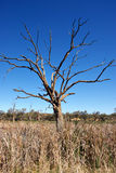 Old dead tree in the drought Stock Image