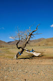 Old dead tree in Gobi Desert Stock Photo