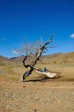 Old dead tree in Gobi Desert Stock Photo