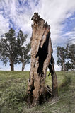 Old Dead Tree Royalty Free Stock Photo