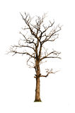 Old and dead tree, isolated Stock Photo