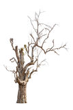 Old and dead tree Stock Photography