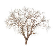 Old and dead tree isolated on white. Background Royalty Free Stock Photo