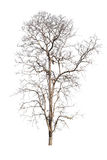 Old and dead tree isolated on white background.  Royalty Free Stock Image