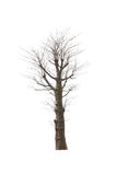 Old and dead tree isolated on white. Background Royalty Free Stock Photography