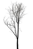 Old and dead tree isolated on white background Royalty Free Stock Photos