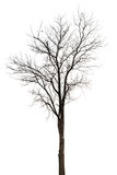 Old and dead tree isolated on white background. Single old and dead tree isolated on white background Stock Photos