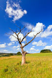Old dead tree on a meadow Royalty Free Stock Image