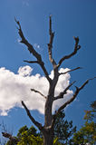 Old dead tree on mountain Troglav against blue sky and white clouds at late summer Royalty Free Stock Image