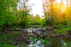 Old Dead Tree On Swamp Stock Photo