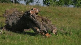 Old dead tree stump, many cut branches, large roots, lying on the green grass. Arid remote and hostile landscape on a hot summer sunny day, wind moving, flying stock footage