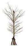 Old and dead tree (Terminalia ivoriensis A. Chev., Combretaceae) Stock Photo