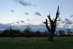 Old dead tree. S on a meadow during a sunset Stock Photo