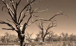 Old dead trees in the drought Royalty Free Stock Images