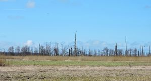 Old dead trees in swamp, Lithuania. Many old dead trees in Tulkiarage swamp in spring stock photo