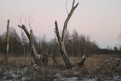 Old dead trees in a swampy winter forest at sunset stock image
