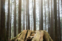 Old death wood stump with new generation trees growth in backgro Stock Images