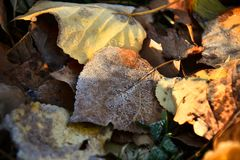Old Decaying Leaves. An abstract image of old decaying leaves covered in early morning frost stock images