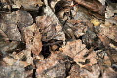 Old Decaying Leaves Texture. An abstract image of old dead decaying leaves heaped in a pile royalty free stock photography