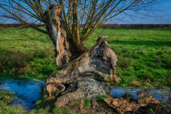 Old decaying tree next to a stream Royalty Free Stock Images
