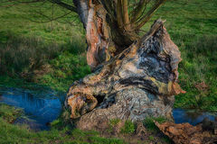 Old decaying tree next to a stream Royalty Free Stock Photos