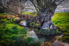 Old decaying tree next to a stream Stock Images