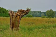 Old decaying willow tree Stock Image