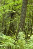 Old deciduous forest. Old natural european deciduous forest with ferns in foreground Stock Photos