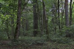 Old deciduous forest in summer Royalty Free Stock Photography