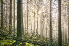 Old deep misty forest with sun rays. Royalty Free Stock Photos