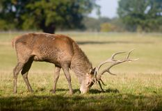 Old deer graze at glade Royalty Free Stock Images