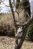 Old deer skull with horns. Found in the woods - an old deer skull with horns; deer antlers Stock Images