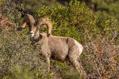 Old Desert Bighorn Sheep Ram. A desert bighorn sheep ram in Zion National Park Utah during the fall rut Royalty Free Stock Image