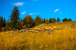Old deserted dried tree trunk on mountain meadow. With forest in background on a clear fall day with blue sky Royalty Free Stock Photography