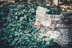 Old destroyed brick wall with ivy growing on it Stock Photo
