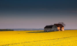 Old devastated building on canola field. Old devastated farm building in the middle of canola field royalty free stock images