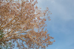 Old died leaf and branch tree in blue sky Royalty Free Stock Photography