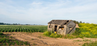 Old dilapidated wooden shed beside a potato field. An old crooked wooden shed along side a field with white flowering potato plants and yellow flowering rapeseed Stock Image