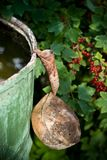 Old dipper. And red currant bush stock image