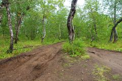 Old dirt road in the curved birch forest stock photography