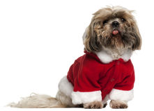 Old and dirty Shih Tzu in Santa outfit Royalty Free Stock Photography