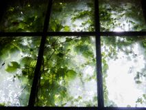 Enchanted old window. Old and dirty window with green leaves royalty free stock photo