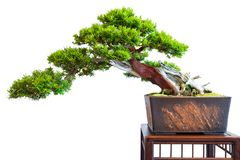 Old distinctive bonsai yew tree. Taxus baccata white isolated Stock Photography