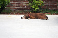 Old dog. Laying on cement driveway looking tired Stock Photo