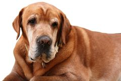 Old dog Royalty Free Stock Image