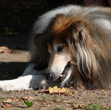 Old dog. Close-up sunlit portrait of a beautiful old collie dog Royalty Free Stock Photos