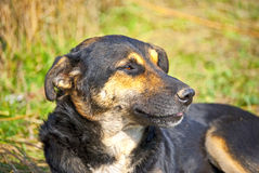 Old Dog. An old dog with his tongue out Stock Images